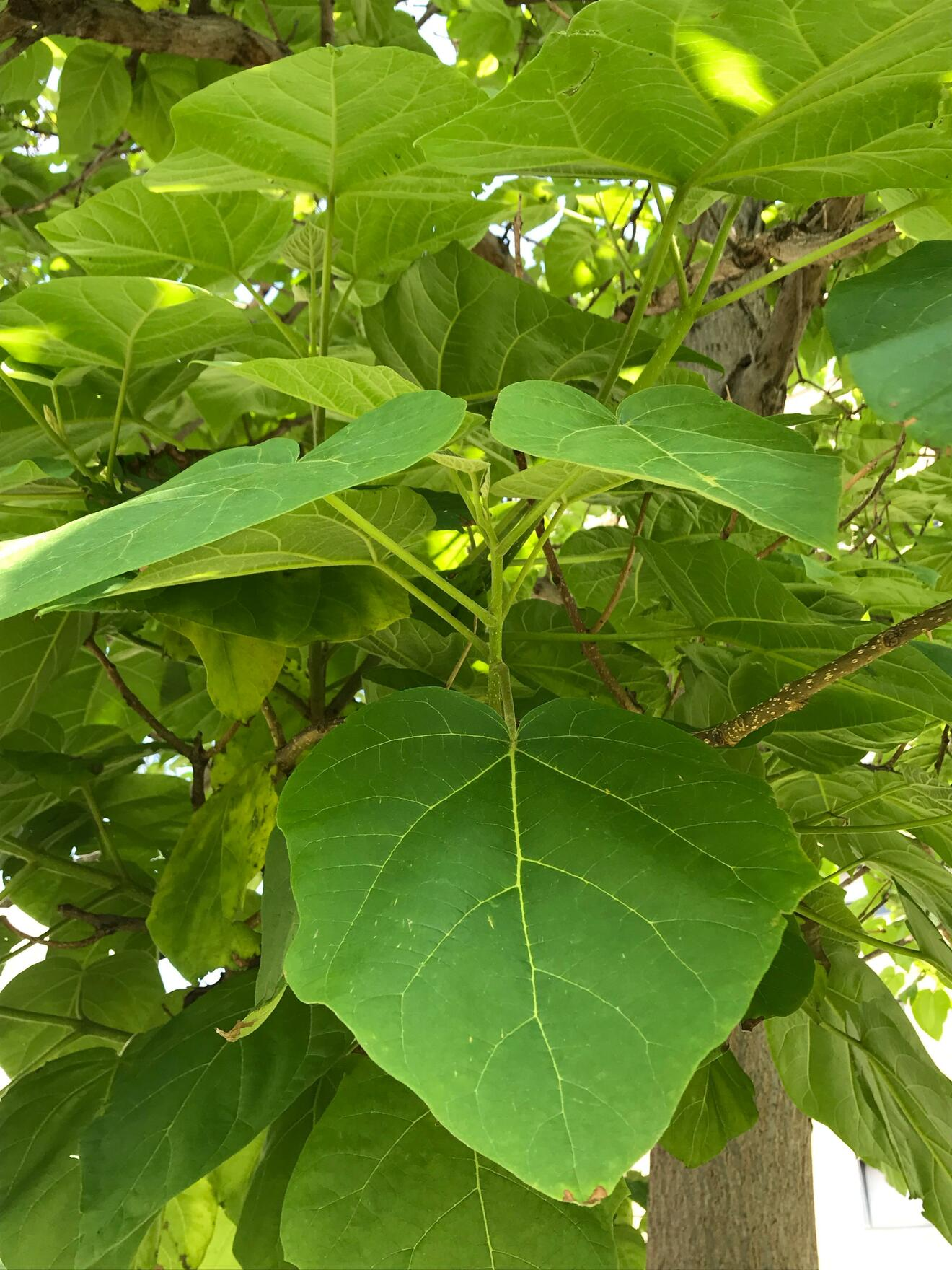 Albero Di Lillà paulownia tomentosa, l'albero della principessa | doppiozero