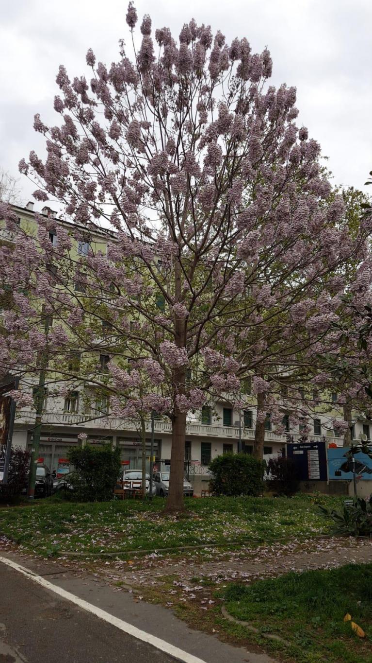 Piantare Alberi Di Paulonia paulownia tomentosa, l'albero della principessa   doppiozero