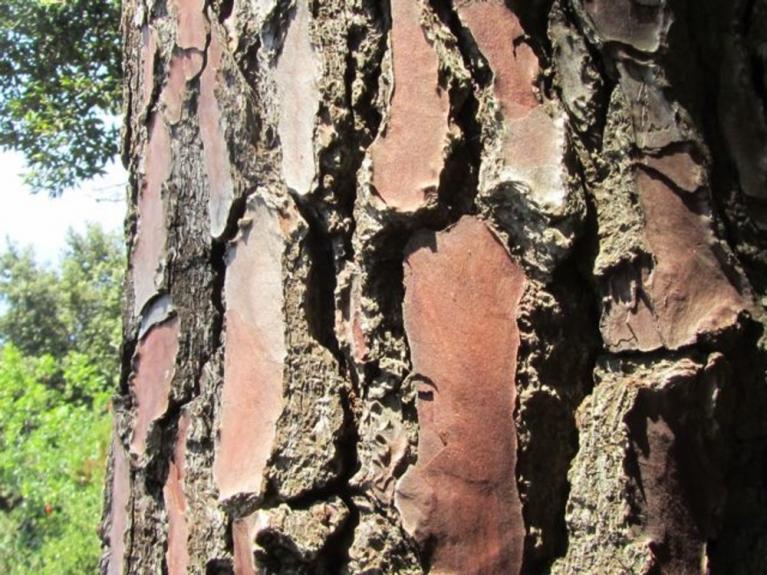 L albero del benvenuto doppiozero for I semi della pigna