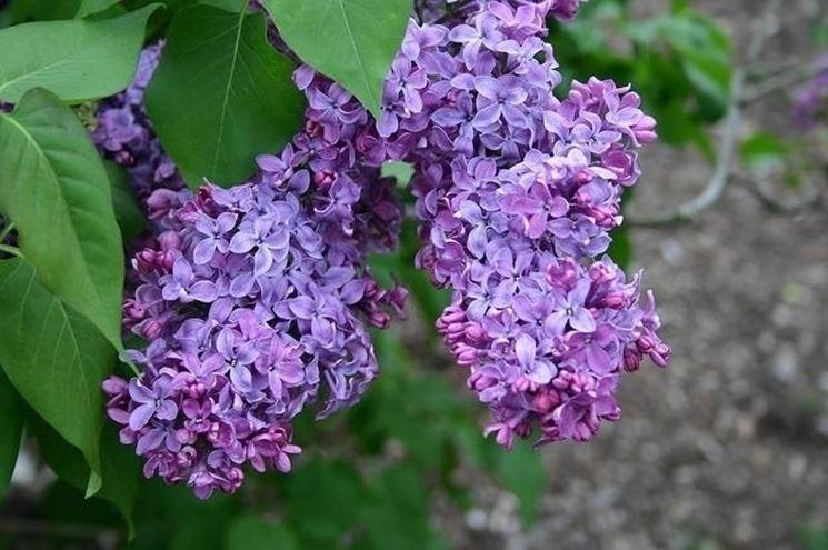 Lill tra m s glise e canad doppiozero - Serenelle fiori ...